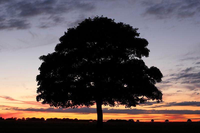 Tree on Beverley Westwood at Sunset