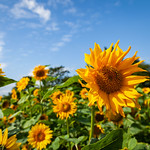 Sunflowers, Huddlestone Grange, 17-8-2019 (IMG_1118) 4k