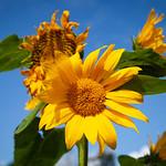 Sunflowers, Huddlestone Grange