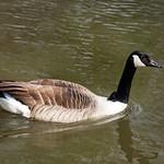 Canada Goose at Grimethorpe Nature Reserve