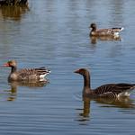 Greylag Geese at Grimethorpe Nature Reserve
