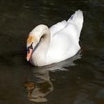 Mute Swan at Grimethorpe Nature Reserve