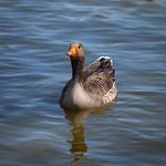 Greylag Goose at Grimethorpe Nature Reserve