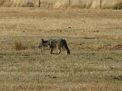 P00086_IMG_0192_Coyote