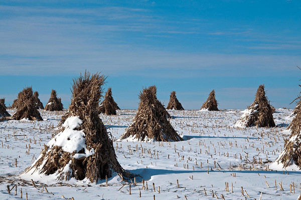 Corn Stalks in piles on the Amish Farm