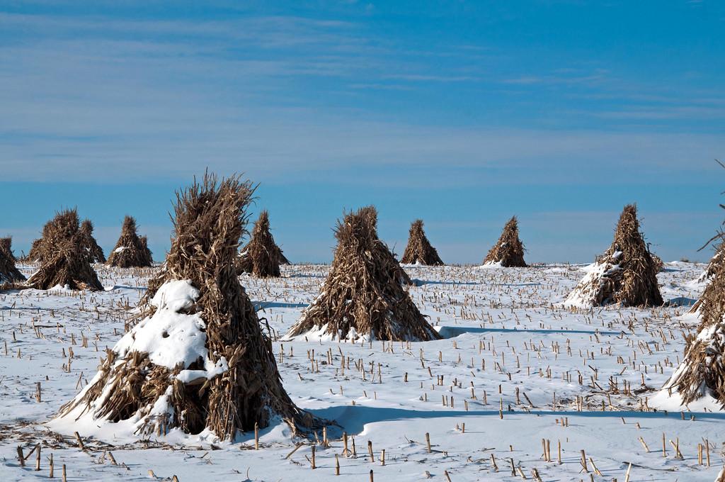 Corn Stalks in piles on the Amish Farm