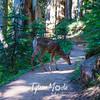 622  G Deer on Trail Near Eunice