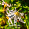 422  G Avalanche Lilies Dew