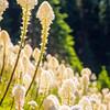 453  G Bear Grass V