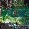 620  G Deer in Forest