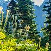 435  Bear Grass