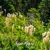 437  G Bear Grass
