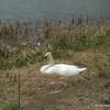 Swan on nest at upper fishing lake
