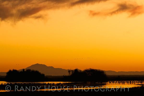 Sandhill Cranes near Lodi, CA settling in for night.