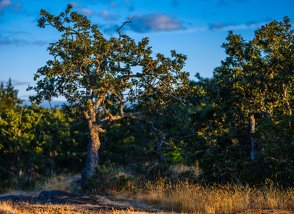 Garry Oak Moving Toward the Light