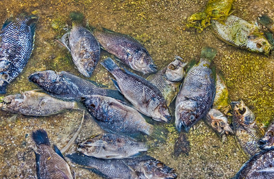 Tilapia on Salton Sea Shore