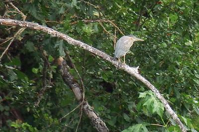Lesser Heron shot across the river at 1200
