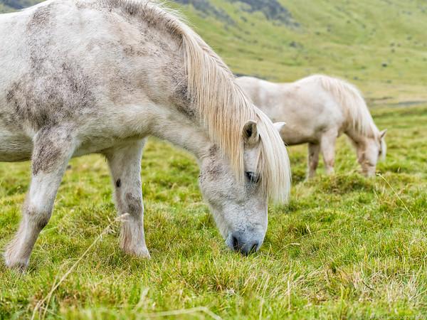 White Icelandic Horses