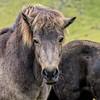 Icelandic Horse Staring Back