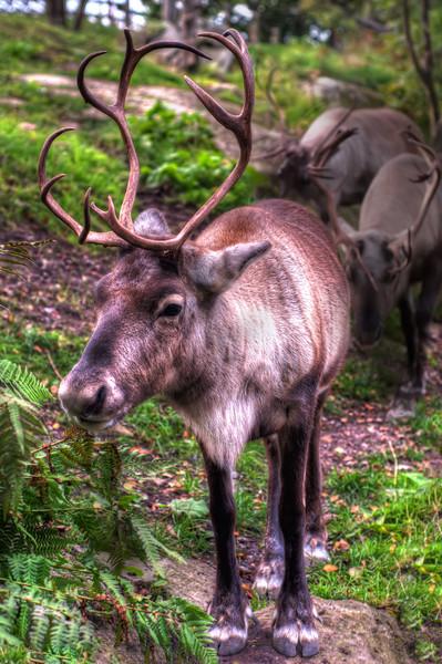 Reindeer-in-Skansen-Stockholm-Sweden-HDR