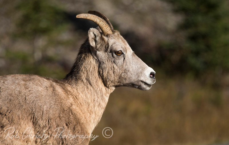 Mountain goat along the Kananaskis Trail in Alberta, Canada<br /> <br /> 1DX_8214e