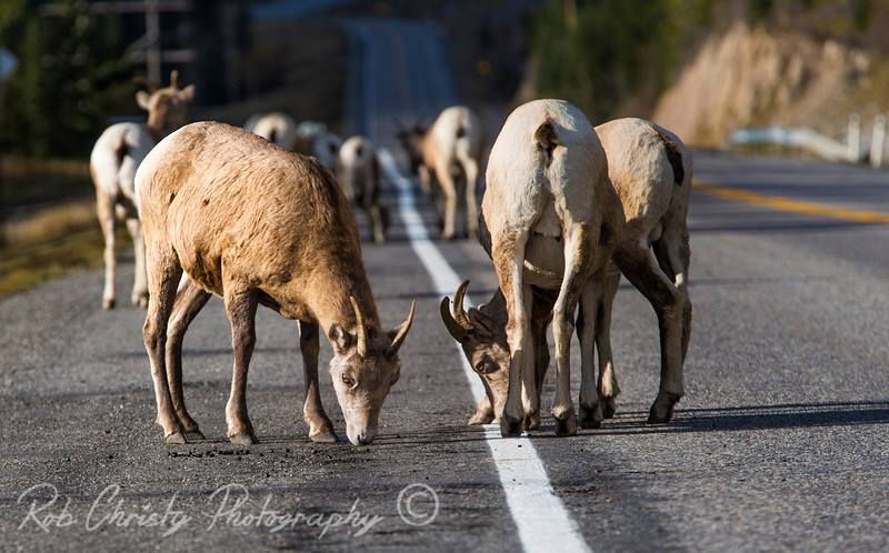 Mountain goats along the Kananaskis Trail in Alberta, Canada<br /> 1DX_8266e