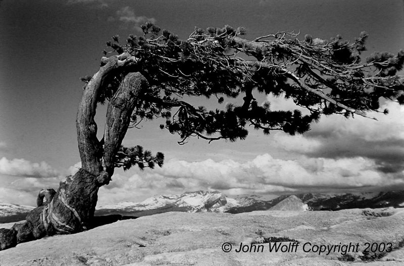 <b> Jeffrey Pine on Sentinal Dome </b>