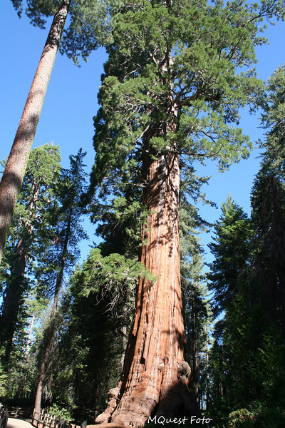 Sequoia National Park -  giant sequoia tree