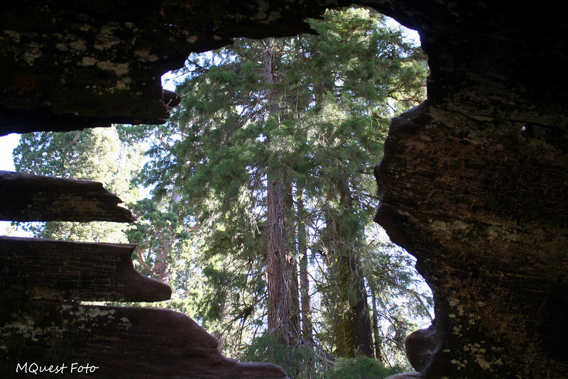 Fallen Monarch Tree - Looking out of a log- Keyhole into the heart of nature -  pandora takes a peek out of her box - (Tree trunk horse stables in Sequoia) I said log - he said log -  Damn Stimpy