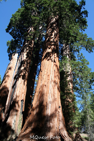 Sequoia National Park -  Tall Tree's
