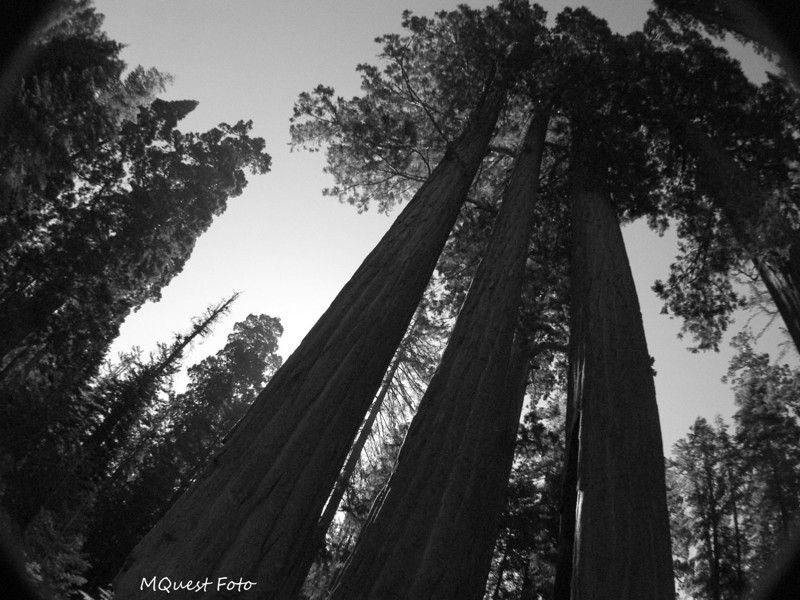 Tall Boys in Sequoia