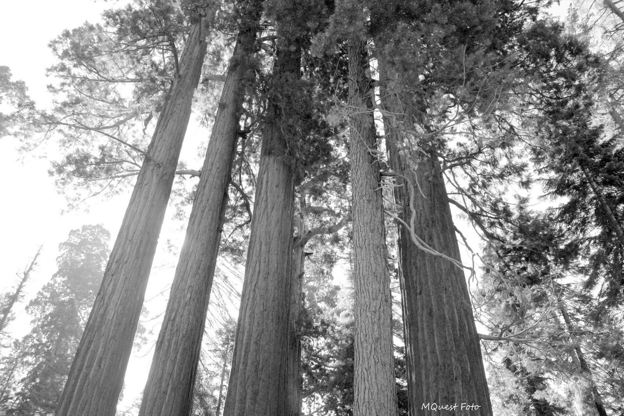 Sequoia National Park - tall trees and  pan's voice -  I hear your voice,  but how does the song go?