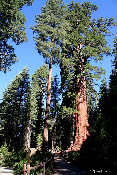 Sequoia National Park - Path to a huge tree