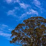 Waving Trees, Wispy Clouds and Blue Skies