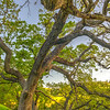 oak-tree-branches-east-bay-sunol-regional-park-spring-blue-skies_D813893