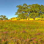 purple-Thistles-Grasses-Oak-tree-Sunol-county-park-east-bay-hills-sunset_D813995-Spring-Art-Consultant-Tranquil-Still-Life