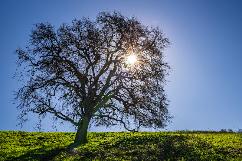 """""""Starburst Oak and Blue Skies in California"""".  Out for a hike in Rancho San Antonio in the Cupertino Los Altos Foothills enjoying a break from all the rain. The lush green grass and blue sky created a nice contrast with the outline of the Oak Tree and starburst from the sun. I can't wait until later in Spring when the tree starts to have leaves on it! #oaktree #starburst"""