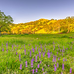 Purple-Flowers-Luppines-Oaks-East-Bay-Hill-Spring-Blue-Skies-Green-Grasses_D813863