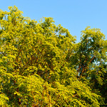 Tree-Leaves-Spring-California
