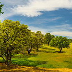 """Oaks in the Meadow"""
