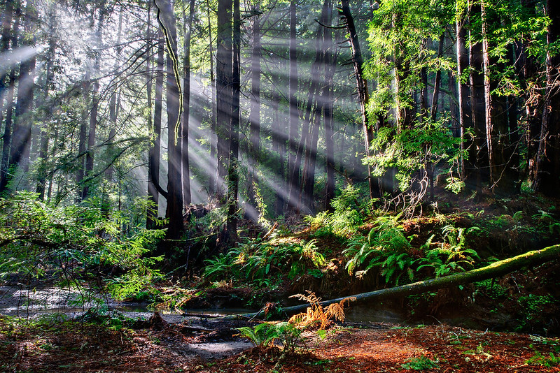 """Rays Through Redwoods"" Butano State Park, Pescadero, California"