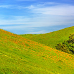 """East Bay Green Grass Hill and California Poppies"""