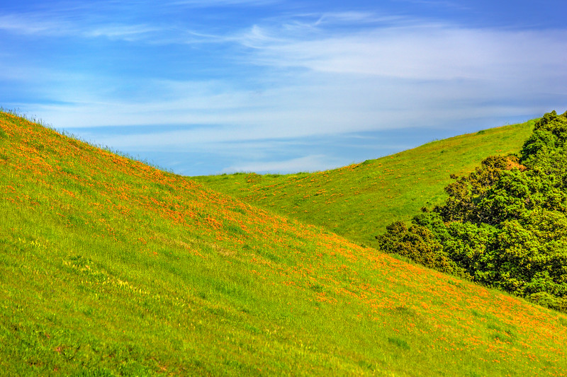 """""""East Bay Green Grass Hill and California Poppies"""""""