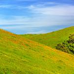 East-Bay-California-Wildflower-Poppies-spring-grass-rolling-hills-tranquil-trees-poppy_D813697-Sunol-regional-park