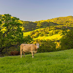 The cows were in the fields here in the California East Bay Hills at Sunol Regional Wilderness park.  The spring fields and grasses with wildflowers popping up.  The green oak trees were a delight to see with the setting sun on the hills behind.  Another tranquil setting out in Nature here in the San Francisco Bay Area!  Hard to believe just a few miles outside of the cities and you can find such an amazing place!  This cow was SO CUTE just looking at me after eating all the grass around.  There were quite a few calfs nursing and eating grass as well.  You just want to put your chair up and relax!