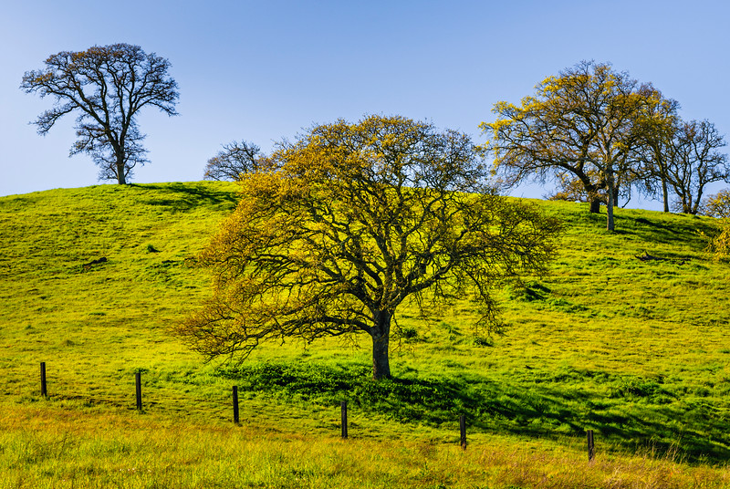 """""""Spring California Oaks with Green Grass and Trees""""  7416"""