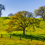 """Spring California Oaks with Green Grass and Trees""  7416"