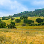 """""""Oaks in the Hills""""  California Pastoral Setting"""