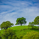 """""""Spring Oak Trees and Green Grass in the Easy Bay Northern California Foothills"""""""