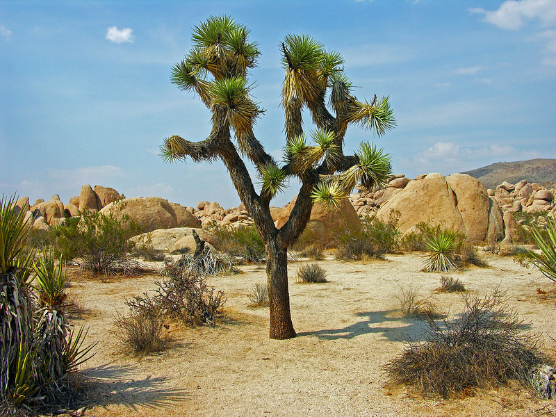 Joshua Tree (color)